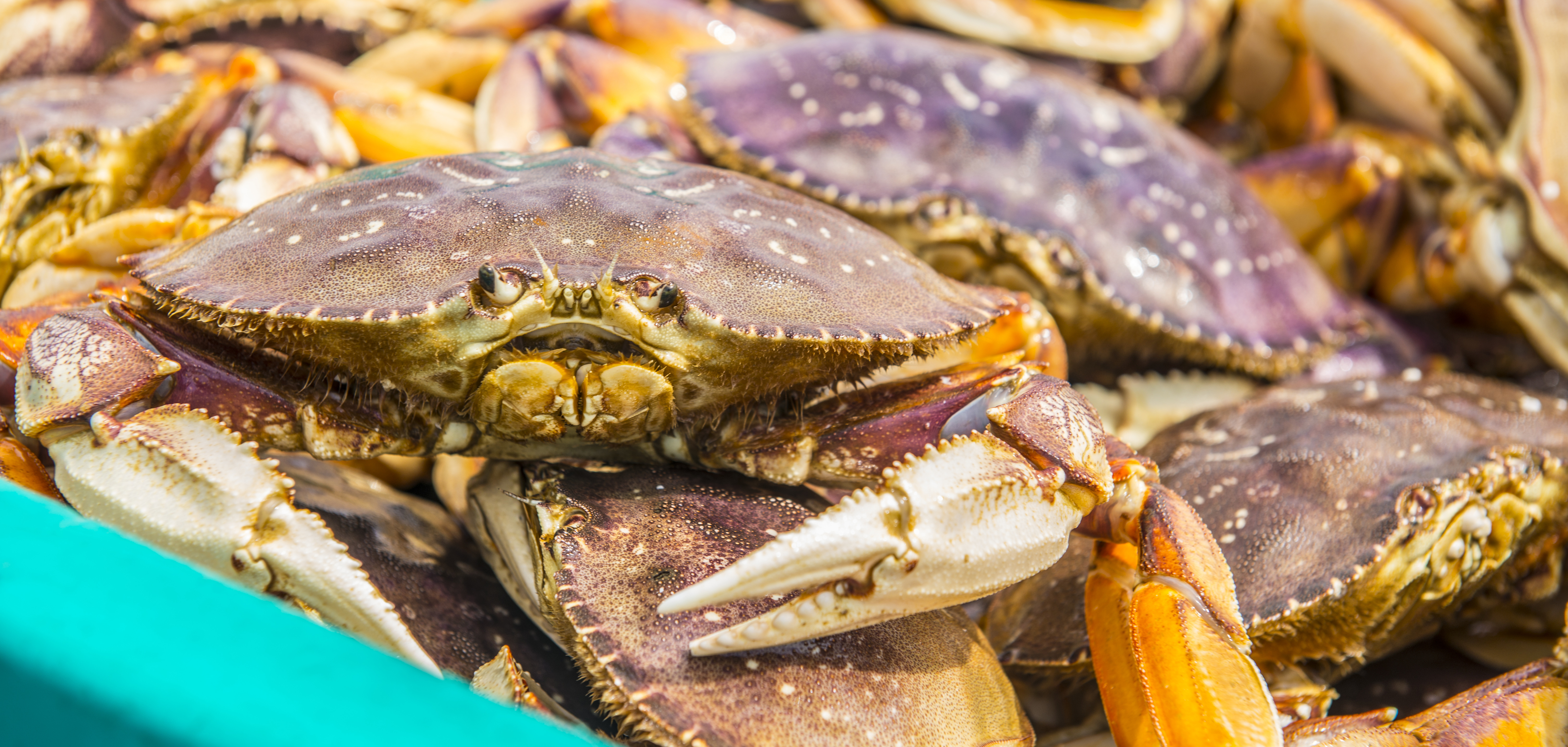 Recreational crabbing open on central coast for Crab fishing oregon